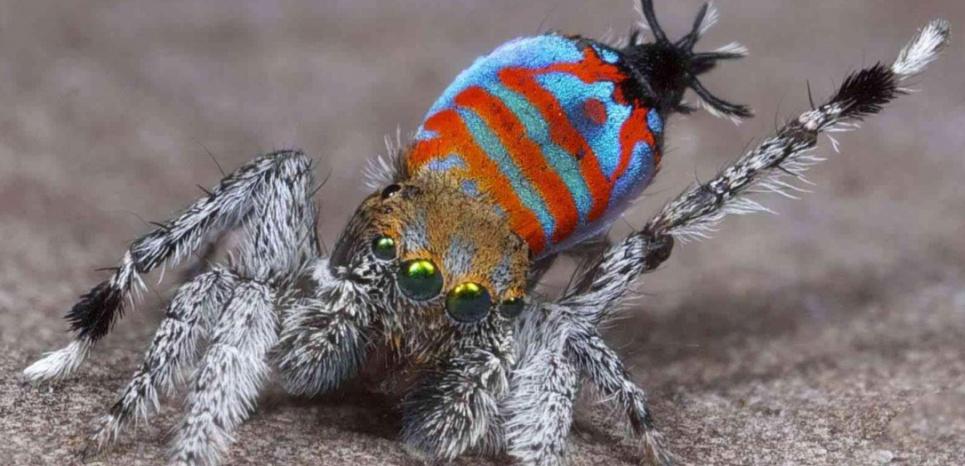 """Cette nouvelle espèce d'araignée-paon a été baptisée """"Sparklemuffin"""". ©Jürgen C. Otto"""