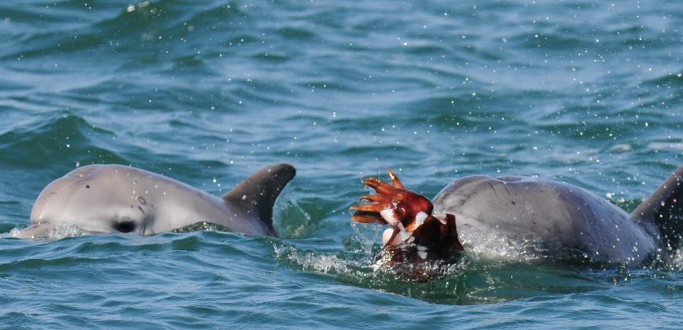 Le grand dauphin (Tursiops aduncus) prépare la seiche géante qu'il à capturé à l'aide de techniques particulièrement complexes. © K. R. Sprogis