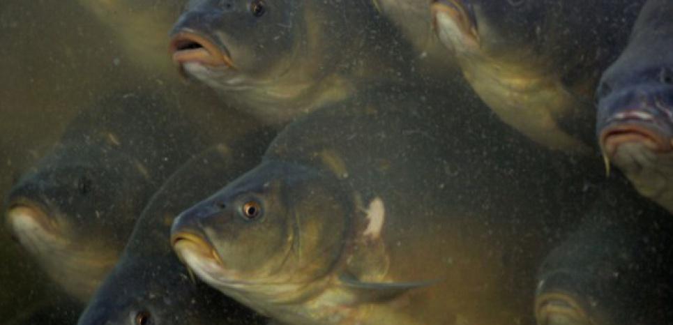 Les carpes australiennes seront-elles vaincus par l'herpès ? AFP PHOTO / JANEK SKARZYNSKI (c) Afp