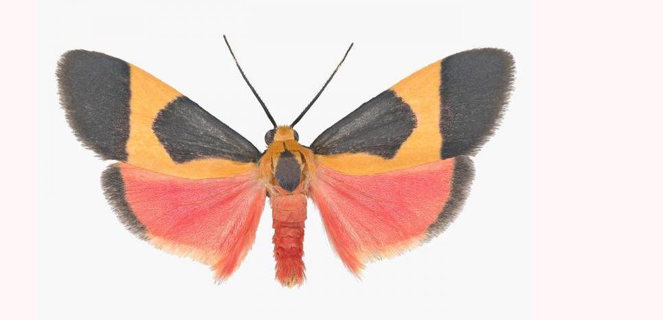 Le papillon de nuit Cisthène martini. Joseph Scheer