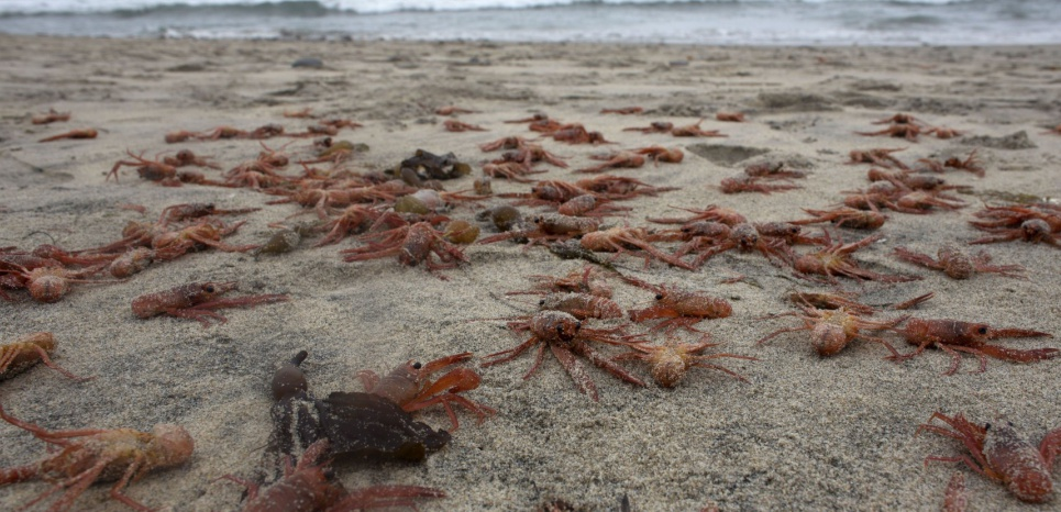En 2015, sur des plages mexicaines, des milliers de crabes et de homards avaient aussi retrouvés morts. Même cause ? © CHINE NOUVELLE/SIPA