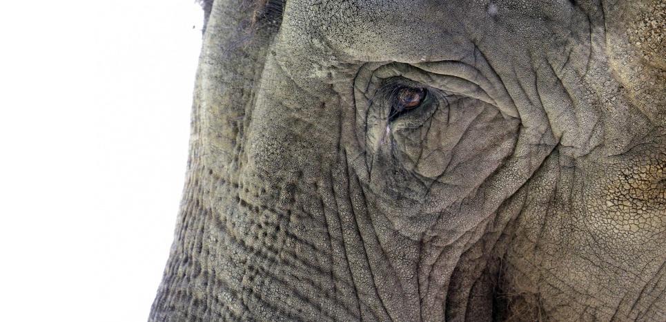 Chez les éléphants d'Asie (Elephas maximus), les grands-mères ont une importance capitale pour la survie des éléphanteaux. © Elaine Thompson/AP/SIPA