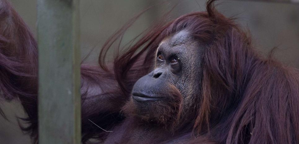 L'Orang-Outan Sandra du Buenos Aires zoo, compte parmi les animaux qui ne seront pas transférés mais bénéficieront de meilleures conditions de vie. © Natacha Pisarenko/AP/SIPA