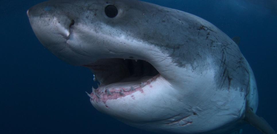 Il existe plus de 400 espèces de requins décrites à ce jour. © Discovery Channel.