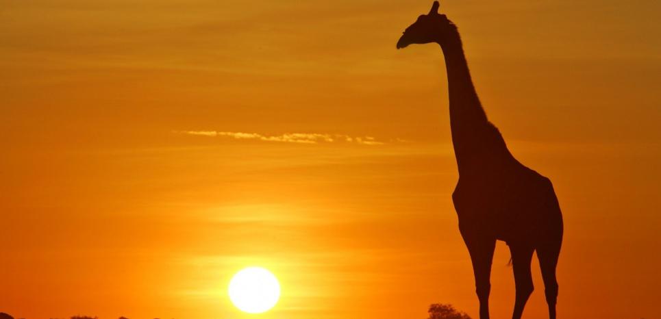 Au Congo, des girafes sont tuées par des braconniers uniquement dans le but de leur couper la queue. © ARDEA/MARY EVANS/SIPA