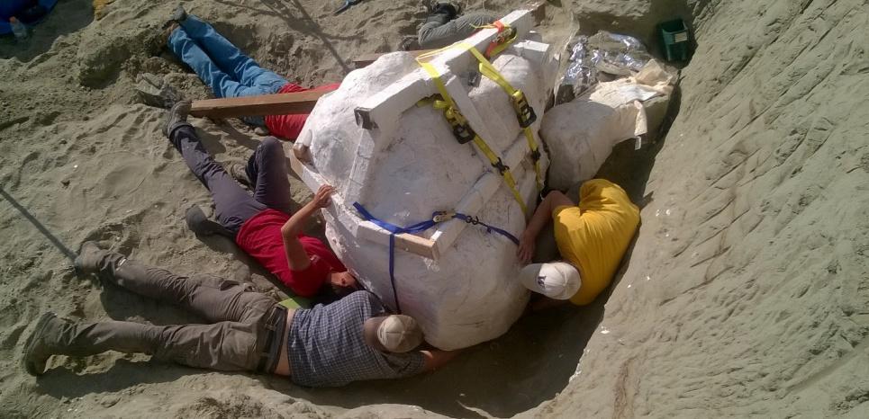 Crâne du T.Rex dans sa gangue de plâtre. Dave DeMar / Burke Museum