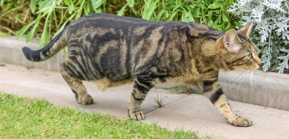 Le chat est la deuxième espèce invasive la plus ravageuse. © Caters/SIPA