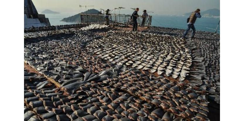 """Le gouvernement de Hong Kong a annoncé vendredi qu'il ne servirait plus d'ailerons de requin et de thon rouge aux réceptions officielles, souhaitant donner """"le bon exemple"""" pour lutter contre l'extermination des espèces menacées.(c) Afp"""