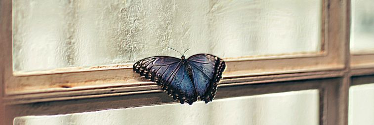 Blue butterfly on a windowstill
