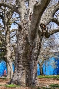 Old Oak Tree3