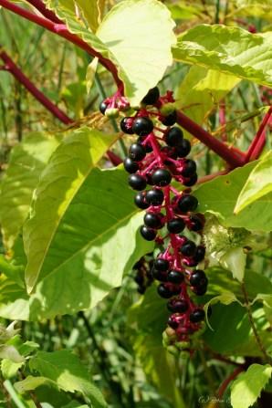 Berries26