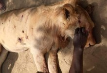 Security Operatives Kill Lion in Ngala Community in Borno [Photo]