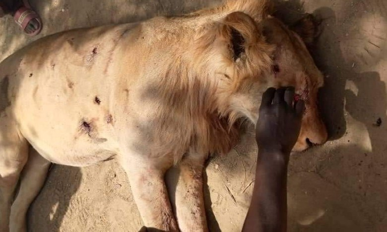Security Operatives Kill Lion in Ngala Community in Borno [Photo]