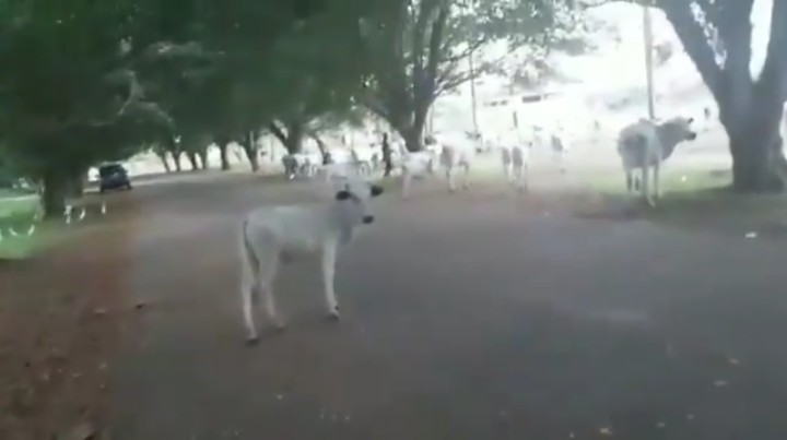 Cows Take Out Okada University, Goes for Political Science Class [Video]