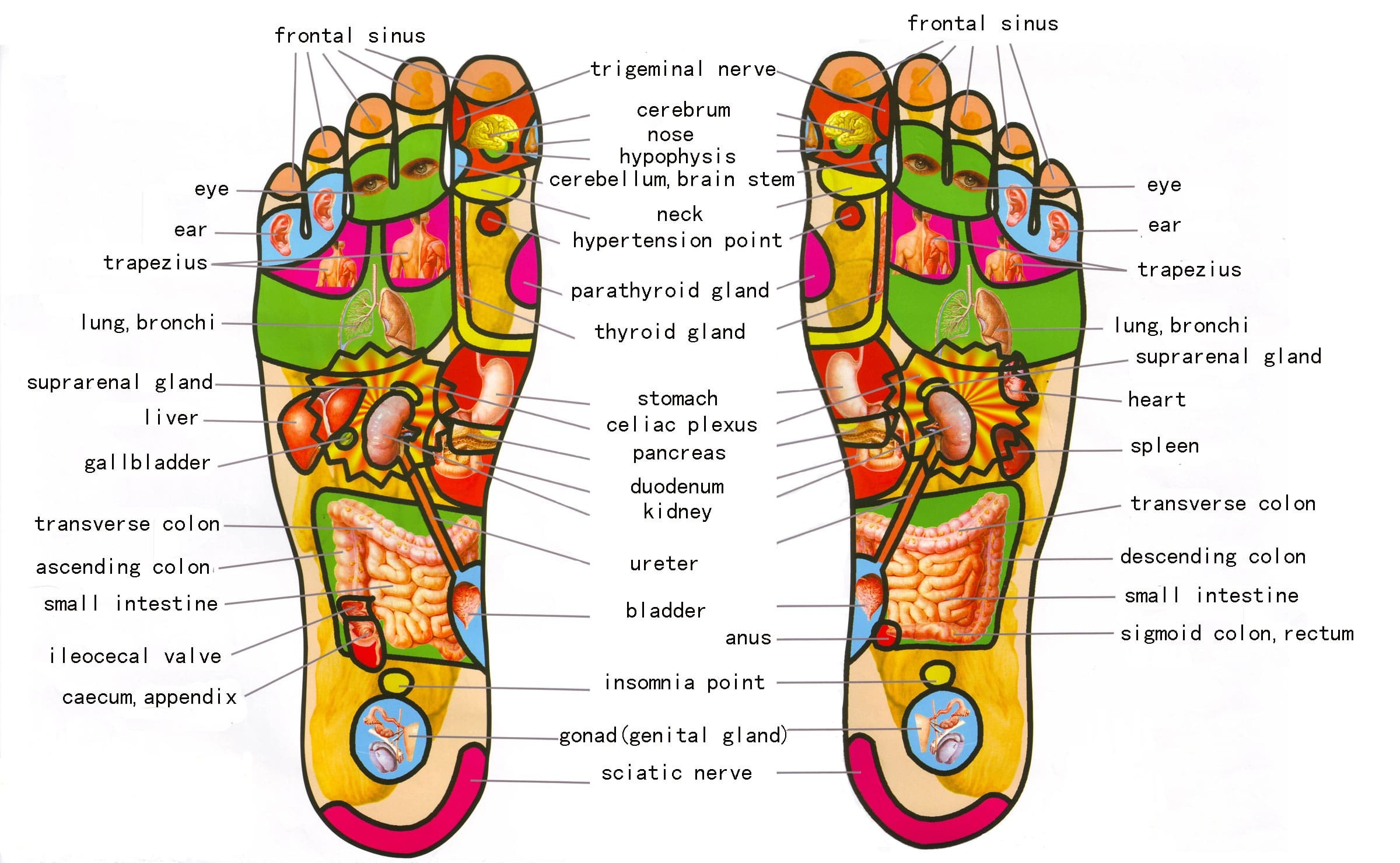 Image result for reflexology zone maps