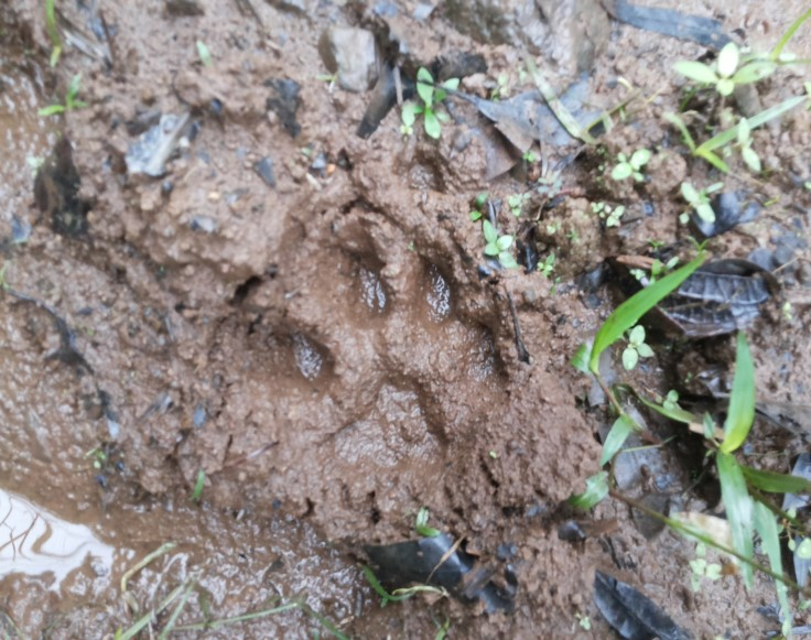 The track of a puma, hunting in an RTT forest