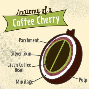 Anatomy of coffee