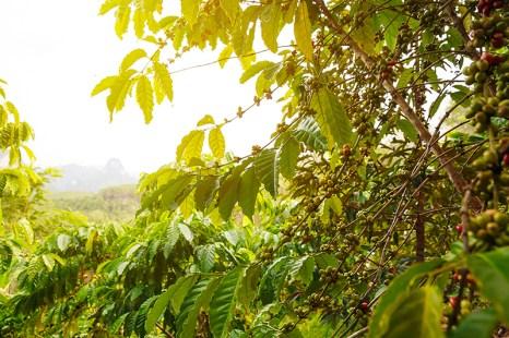 Coffee tree in Sunlight