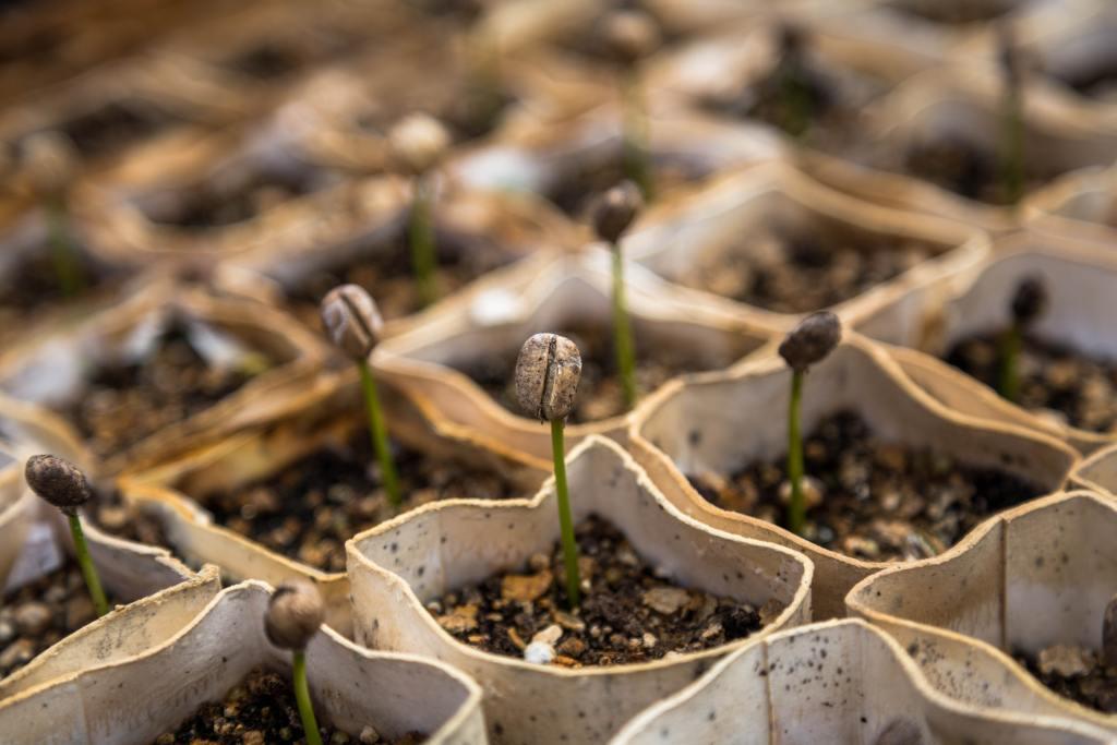 coffee seedlings