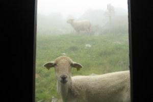 moutons devant la porte