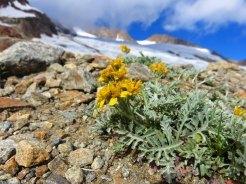 une des fleurs survivor d'altitude devant le glacier des Glaciers