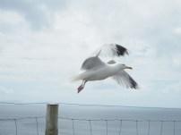Gaviota en Dingle Peninsula
