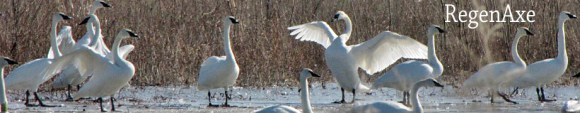 trumpet-of-the-swan-header.jpg