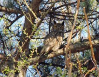 Charles the Great Horned Owl