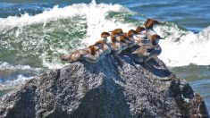 Baby Mergansers on the Rocks