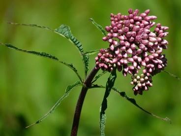 Pink Milkweed Buds