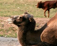 Bitte hinten anstellen, es sind noch Kamel-naten oder Kemenaten? frei!