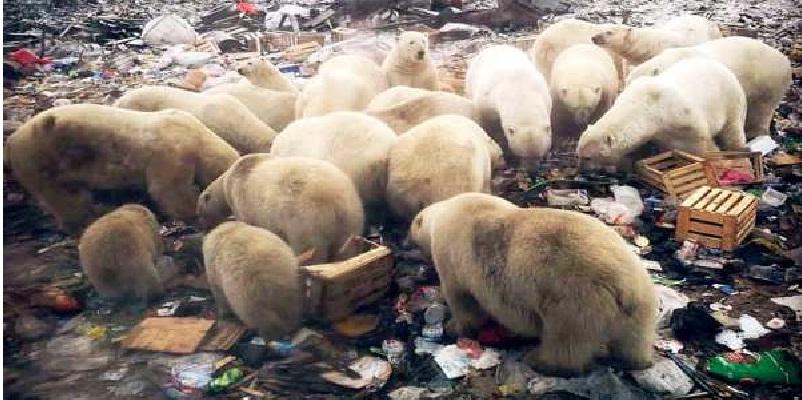 osos - Osos polares invaden base militar rusa, buscan comida ante deshielos