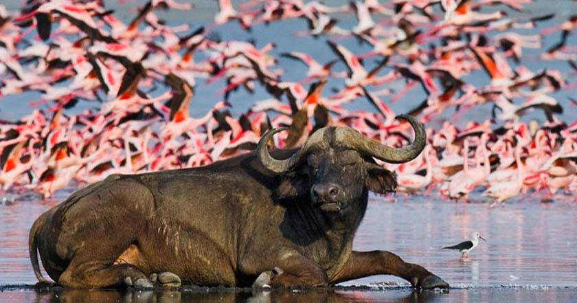 "Kenia reporta lago muerto en peligro flamencos rosados - Kenia reporta lago ""muerto""; en peligro flamencos rosados"