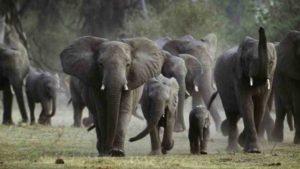 elefante mata a cazador furtivo 300x169 - Elefante mata a un cazador furtivo