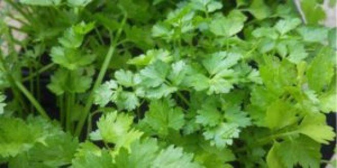 0701 CILANTRO2 300x150 - El cilantro descontamina el cuerpo: elimina metales pesados