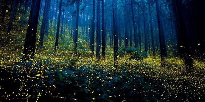 Luciérnagas desaparecerían por contaminación lumínica e insecticidas