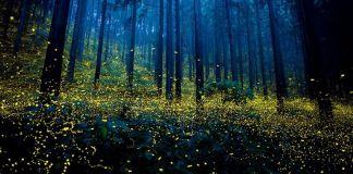 Luciérnagas desaparecerían por contaminación lumínica y pesticidas