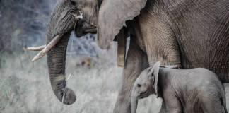 Veterinarios intentan ayudar a elefanta herida; su cría la protege