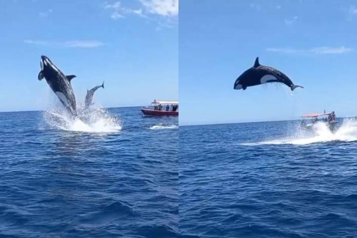 ¡Qué escena! Captan a orca saltando para cazar un delfín