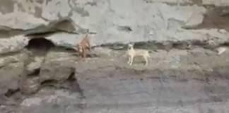 ¡Siguen vivos! Piden rescatar a perros atrapados en socavón de Puebla