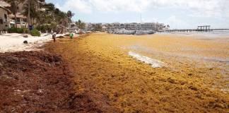 Toneladas de sargazo se extienden por playas de Quintana Roo