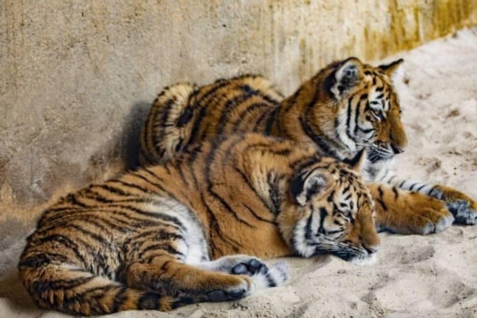 Nacen cuatro tigres de bengala en el Zoológico de Guadalajara