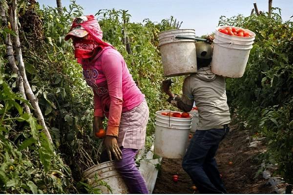 Jitomate mexicano detenido en aduanas por trabajo forzado