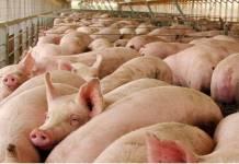 Fábricas de carne a investigación
