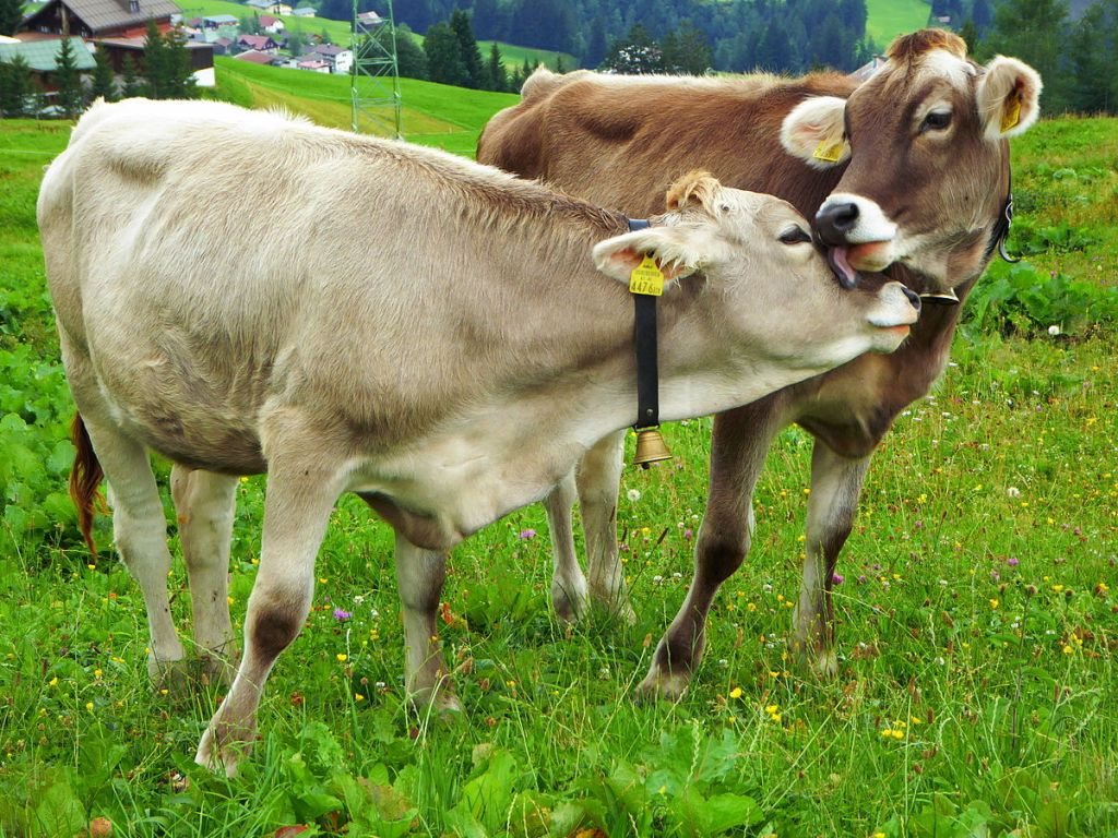 Cows Nuzzling