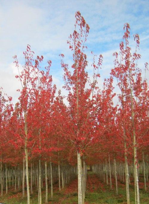 Regent's Park Cherry Trees