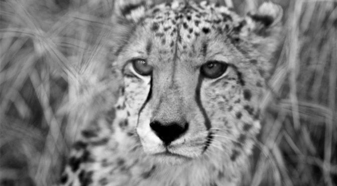 Such a serious cheetah looking (Thandeka Game Lodge)