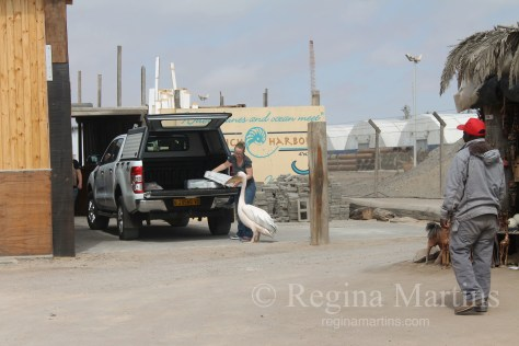 Pelican Rehabilitation Project, Walvis Bay, Namibia