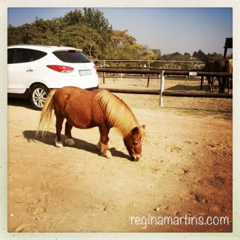 Thabo, the russet pygmy horse © Regina Martins