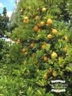 Our lemon tree. ©2017 Regina Martins
